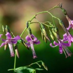 Immagine Prenanthes purpurea